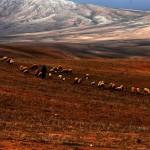 Les troupeaux de l'Atlas près du gite-Ourthane