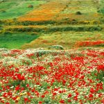 coquelicots ourthane